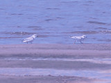 Piping Plover - 8-23-09 Island 13 - pair