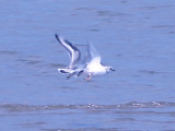 Piping Plover - 8-23-09 Island 13 pair -
