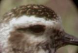 Ensley Plover - D4 - eye close
