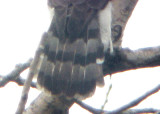 Coopers Hawk - 9-15-09 adult Ensley molting tail
