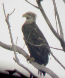 Bald Eagle - 9-17-09 TVA Lake - 3rd year
