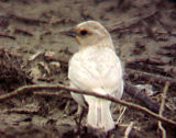 Leucistic and full to partially albinistic birds