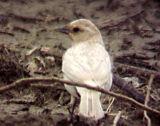 Red-winged Blackbird - leucistic