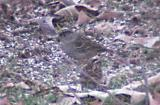 Golden-crowned Sparrow - with White-throated
