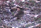 Golden-crowned Sparrow - bill