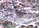 Golden-crowned Sparrow - back of head