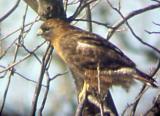 Red-tailed Hawk - adult rufous morph - 1-29-06.jpg