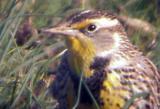 Western Meadowlark - Tunica 2-4-06  -