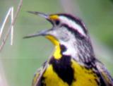 Eastern Meadowlark - male on territory.jpg