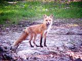 Red Fox - Memphis - Arlington Rd -