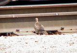 Mourning Dove -Hybrid  1- 7-22-06