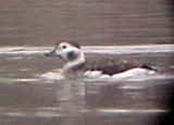 Long-tailed Duck - 2-24-08 Robco  Lake