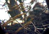 Great Horned nest - Tunica 3-2-08