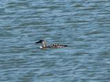 Common Loon - Coro Lake 3-2-08 molting to breeding plumage
