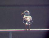 Lesser Black-backed Gull - adult 3-9-08 Pickwick Dam Lock