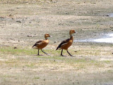 Fulvous Whistling-Duck - 5-18-08