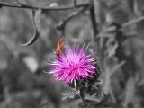 Orange Bug on Purple Flower -- B&W
