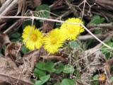 early wild flower