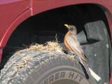 a foolish robin