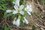 unknown spring flower