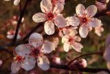 blooming sand cherry