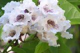 summer blooming tree