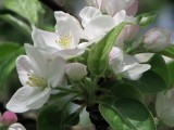 more apple blossoms