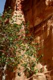 Fig tree in Petra.JPG