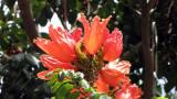 Spathodea Campanulata
