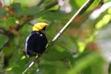 Golden-headed Manakin (Pipra e. erythrocephala)