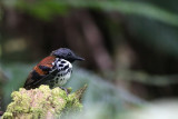 Spotted Antbird (Hylophylax n. naevioides)
