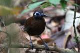 Zeledon's Antbird (Myrmeciza zeledoni macrorhyncha)