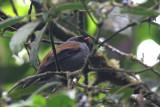 Varied Solitaire (Myadestes coloratus)