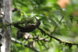Black-striped Woodcreeper (Xiphorhynchus lachrymosus)