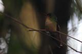 Pirre Hummingbird (Goethalsia bella)