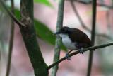 Bicolored Antbird (Gymnopithys leucaspis bicolor)