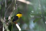 Golden-collared Manakin (Manacus vitellinus)