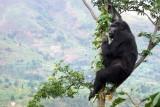 Eastern Gorilla (Gorilla beringei)