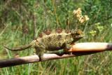 Chameleon sp.