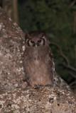 Verreaux's Eagle-Owl (Nyctaetus lacteus)