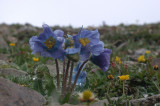 Prickly Blue Poppy (Meconopsis horridula)