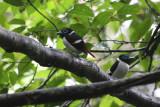 Wattled Broadbill (Sarcophanops steeri)