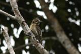 Philippine Pygmy Woodpecker (Yungipicus maculatus)
