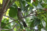 Siquijor Bulbul (Ixos [s.] siquijorensis)