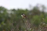 Long-talied Shrike (Lanius shach)