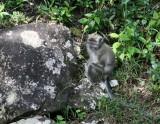 Little monkey at Black River National Park