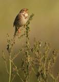 Grauwe Gors - Emberiza calandra - Corn Bunting