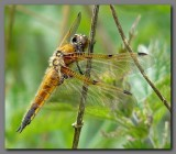 British Dragonflies and Damselflies