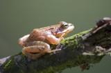 frog / kikker unknown