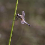 Libelle / dragonfly